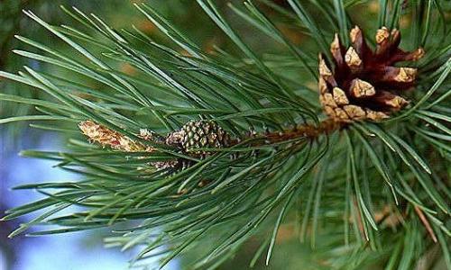 Rozpoznawanie taksonów drzew i krzewów